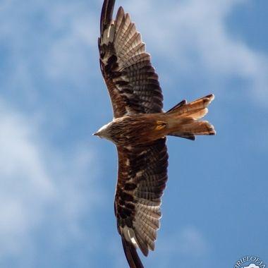 red kite-1297