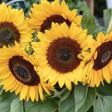 sunflower-1000