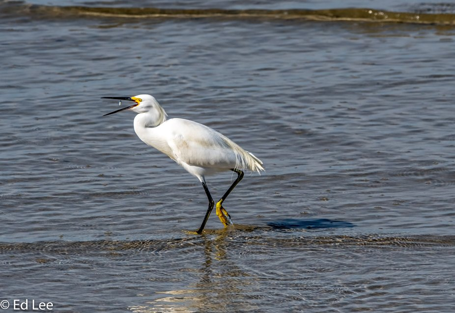 Snowy Egret eating minnows