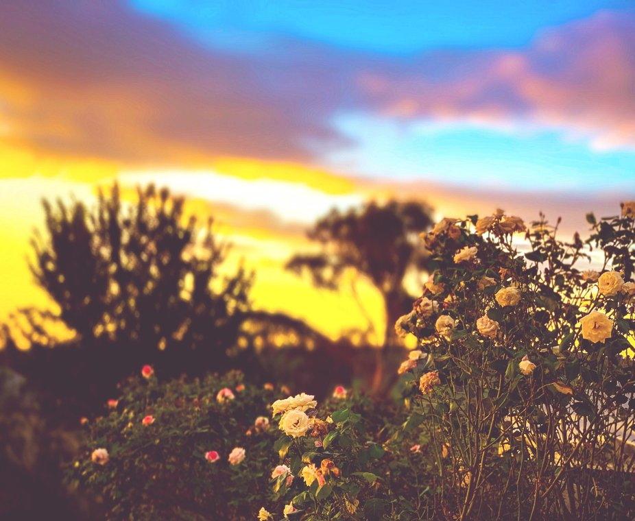 English roses vs an australian summer at sunset