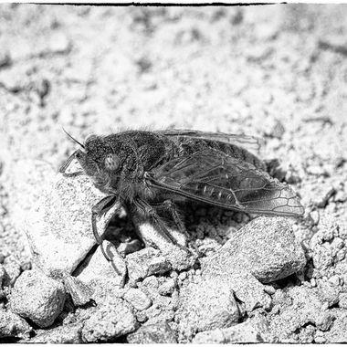 Alpine Cicada  B&W