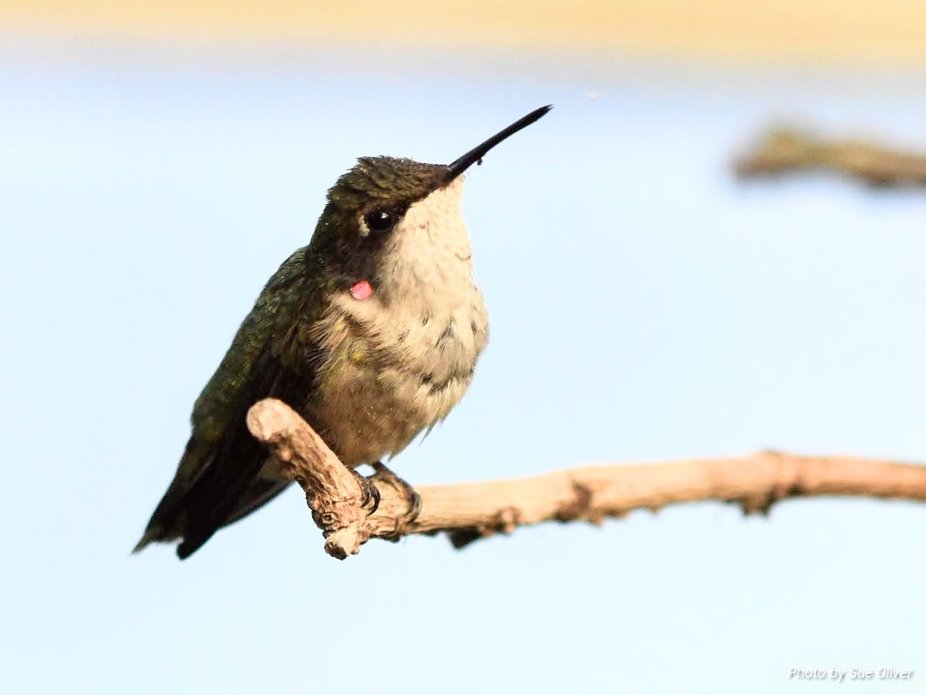 Magic Wings Conservatory. Ruby throated humming bird sitting on a limb.