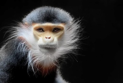Female Red Shanked Douc Langur