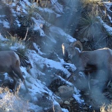 There were 4 big horn sheep grazing on the mountainside. The rut is past so they can be friends for a while.