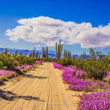Baja is experiencing a super-bloom in the Sonoran Desert:  This has become a living desert, with beauty unlike anything one might have ever experienced.  This happens only every few decades.  AMAZING! 2019 Jan/Feb