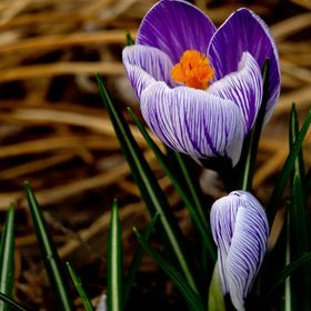 Crocus are one of the first flowers of spring.