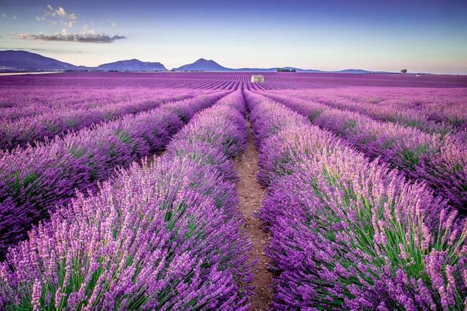 Valensole Field by davidjlong - Shades Of Purple Project