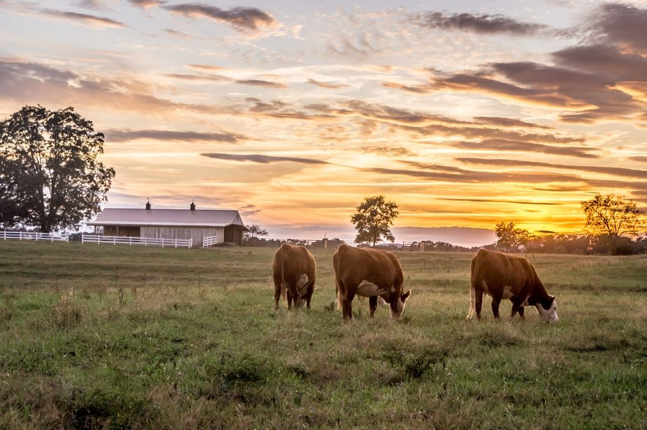 Cows grazing peacefully in the evening