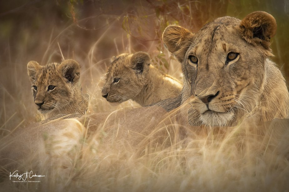 Lion and two cubs.  Image captured with Nikon D850 and Sigma 150/600 lens.