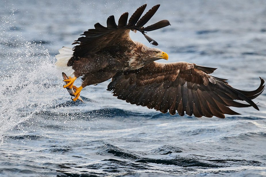 I have done thousands of eagle safaris. This picture it all came together. The splash and positio...