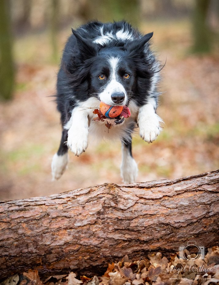 Take off, my Border Collie dog doing what she loves best.  by Nigelwallacephotography - Dogs In Action Photo Contest