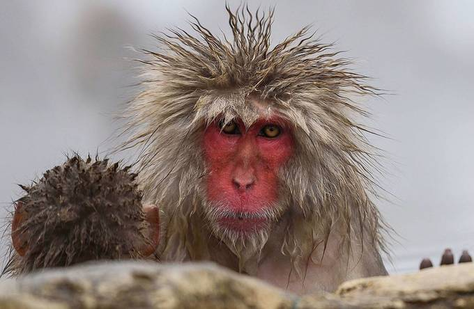 Snow monkey in Japan in the winter time there are very cute wildlife animal by Boudoirbyya - The Magic Of Japan Photo Contest