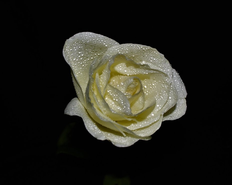 A white rose with water mist against a black background.