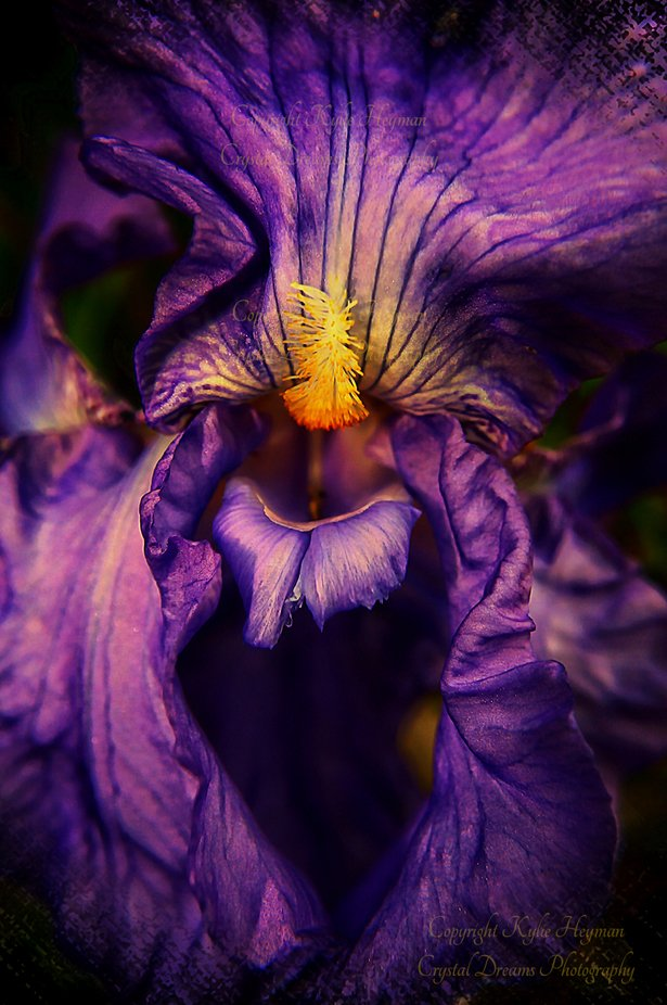 Essence of an iris by Kylz - Shades Of Purple Project