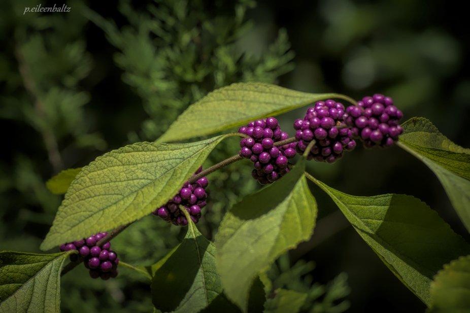 Beauty Berries On Green