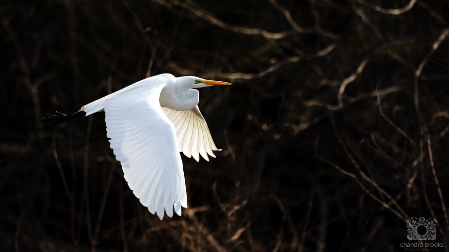 An egret wings its way into the fading evening light
