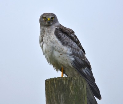 Northern Harrier: The Gray Ghost