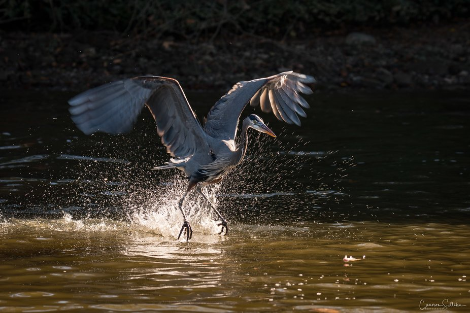 A Great Blue Heron glides across the James river.