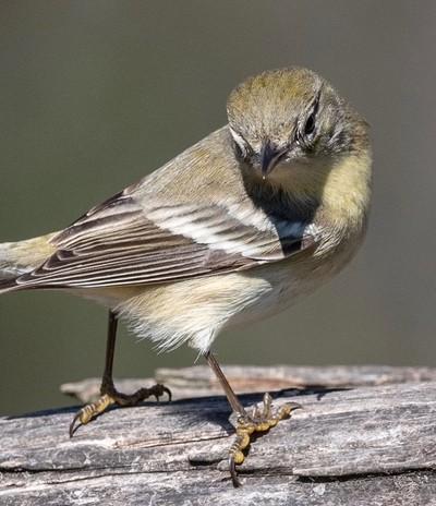 American Goldfinch - Lake Livingston, Texas