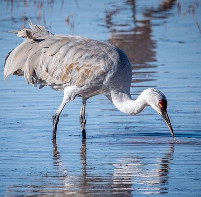Sandhill Crane - New Mexico, USA