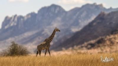 Tsavo giraffe