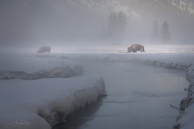 Yellowstone Bison in Morning Mist