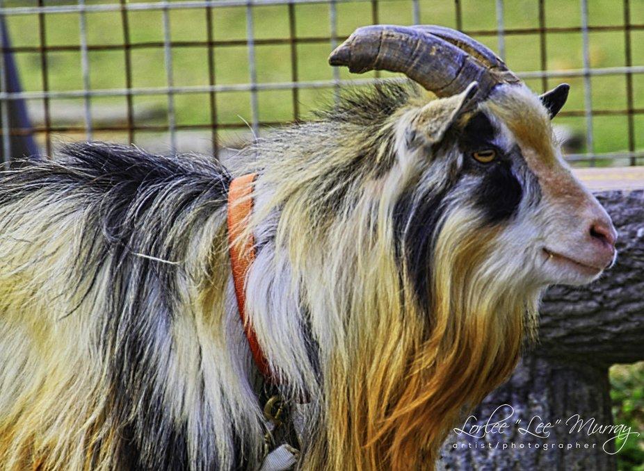 Goat in Okinawa Japan