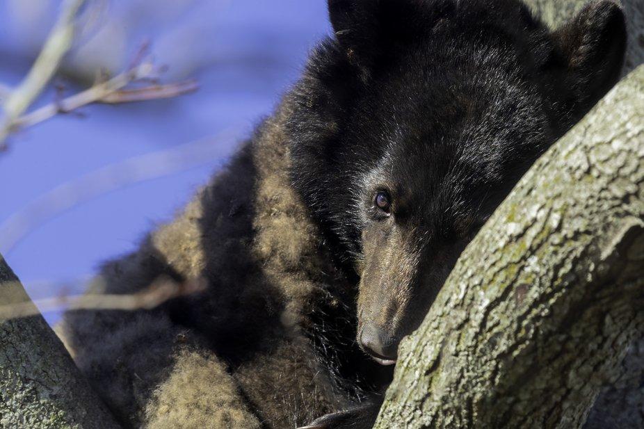 Juvenile black bear in tree