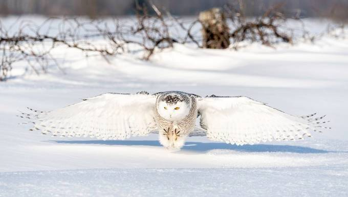Snowy Owl  by tomingramphotography - Social Exposure Photo Contest Vol 21