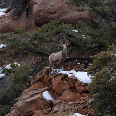 Big Horn Sheep at Zion - 00416