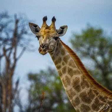 Giraffe 2-012
