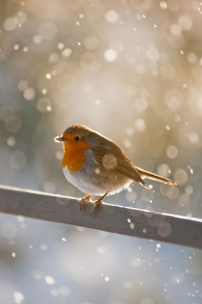 Robin Perched with Snow Falling