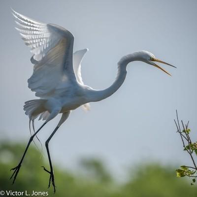 Great Egret - Bolivar, Texad