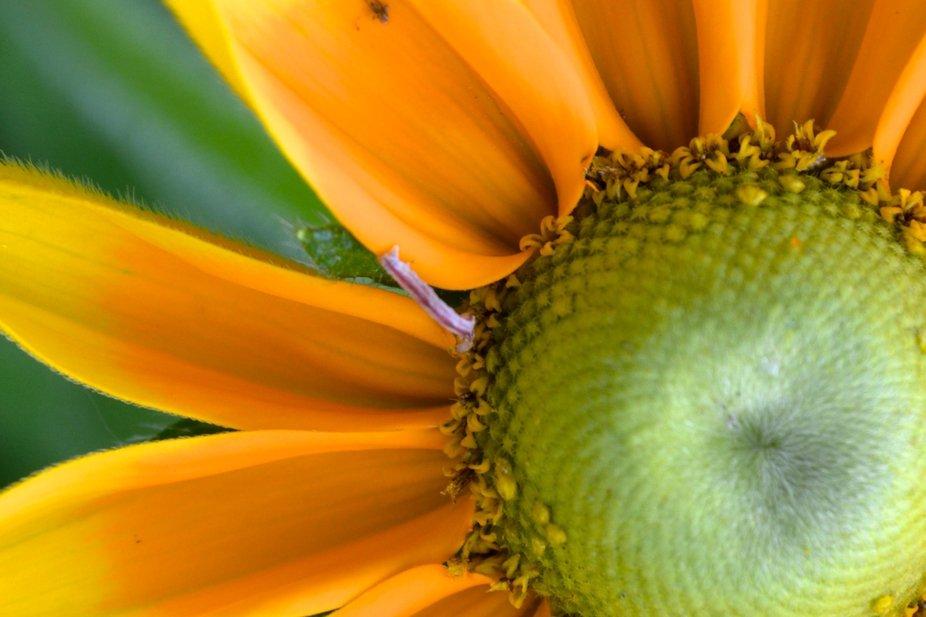 Purple worm on Sunflower