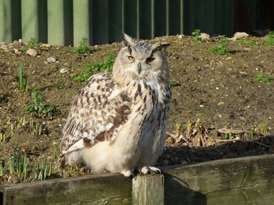 Eagle Owl Chilling Out