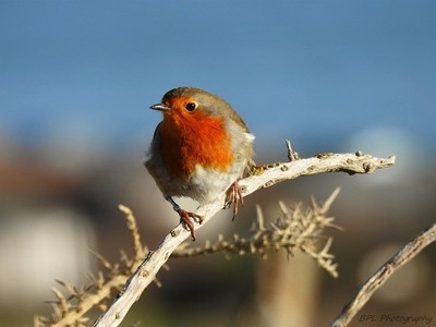 Coastal Robin