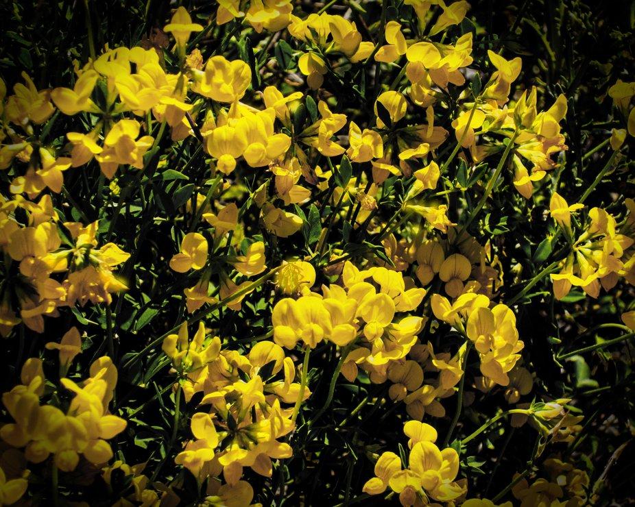 """I wonder how this little beauty got its strange name. I prefer """"Lotus corniculata.&q..."""