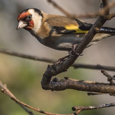 A Goldfinch watches sternly from a branch.