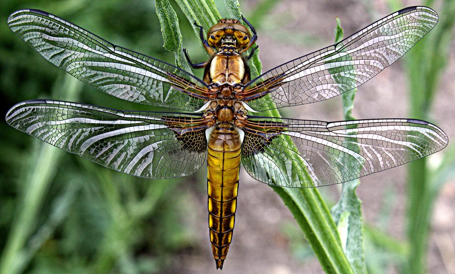 Broad bodied chaser bodied chaser