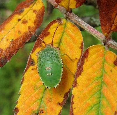 Young Bug
