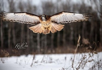 red tail  #redtailedhawk #raptor #elite_raptors #hawk #bird_brilliance  #birdsofinstagram #birdphotography