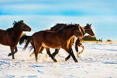 Mustangs Running in the Snow