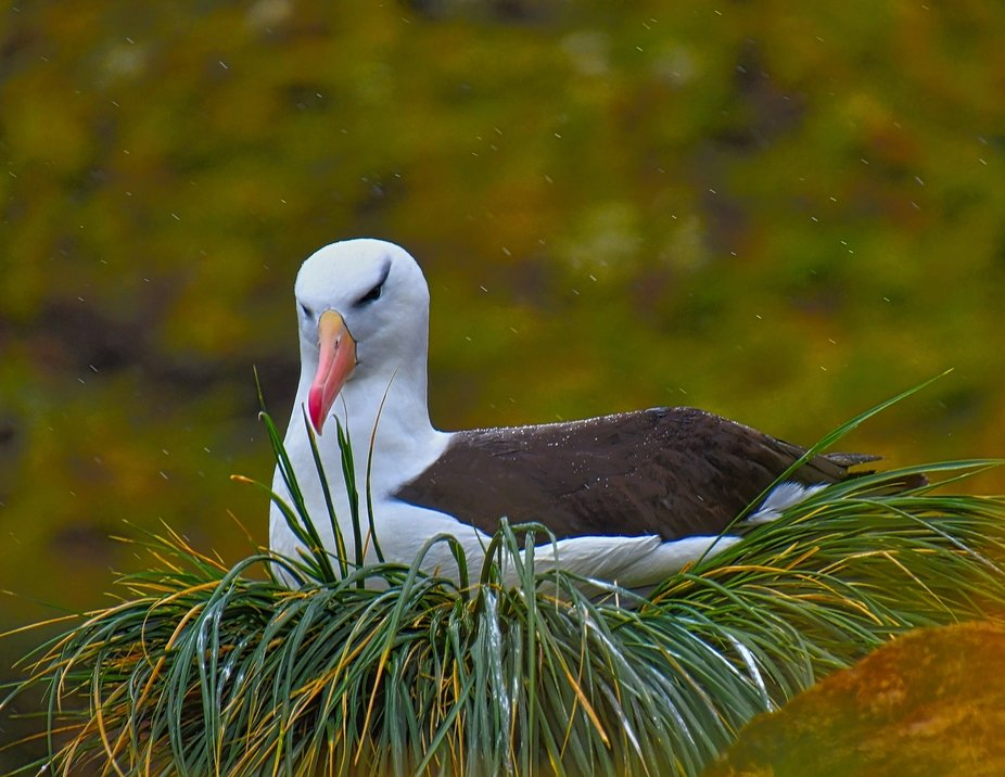 Black-browed albatross sitting on her nest on a clump of tussock grass.  Photo taken on West Poin...