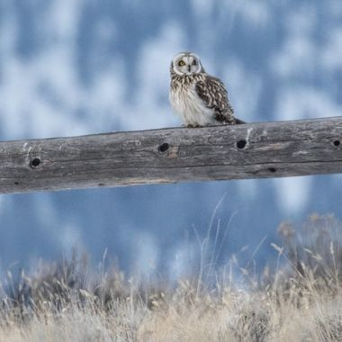A short eared owl near Quilchena B C