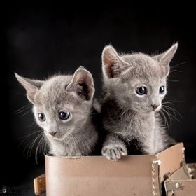 Two Russian blue kittens at 5 weeks of age.