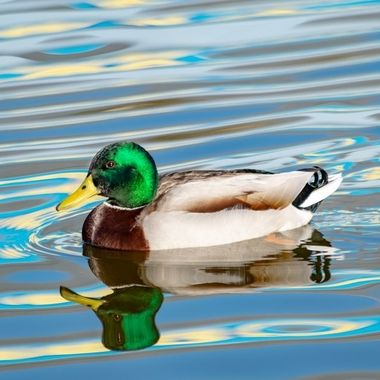 a duck having a swim on a lake with colourful ripples floating by