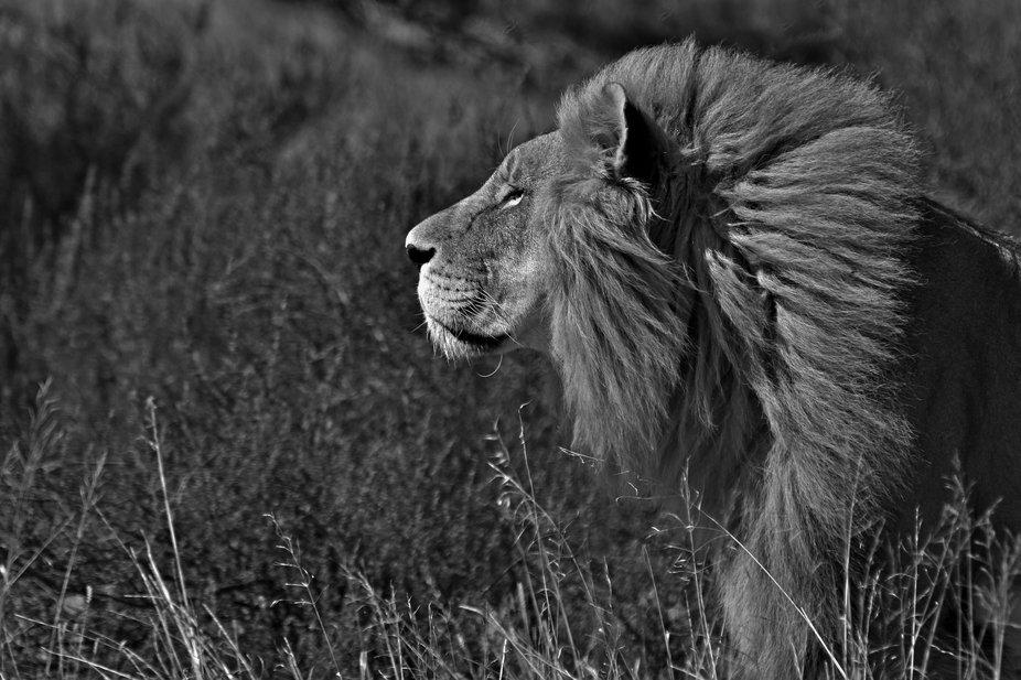Lion male. Leeumannetjie. Western Cape.