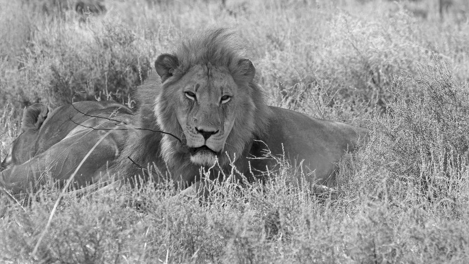 Lion male watching over sleeping female. Western Cape