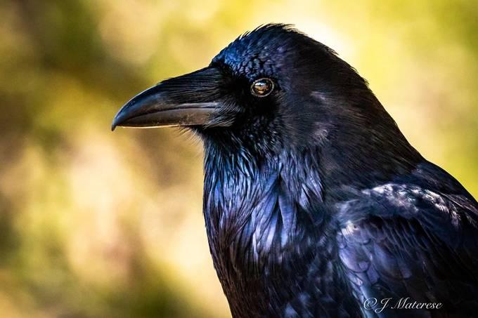 Raven Watching