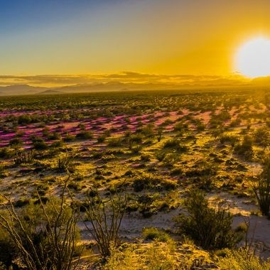 Super bloom of the Mexican desert, happens about once every few decades.  January 2019
